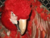 Macaw - Bella - Extra Large - Senior - Female - Bird