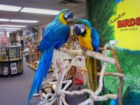 This Blue and Gold is a very tame and nice bird.