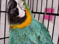 Macaw - Caleb - Medium - Adult - Bird Hello, everyone,