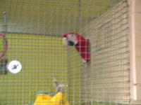 I'm selling a young Harlequin macaw, male $800.00 Young