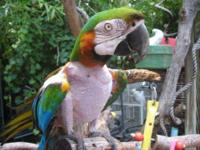 Macaw - Isabella - Large - Adult - Female - Bird