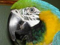 Macaw - Major - Extra Large - Adult - Male - Bird Major