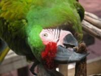 Macaw - Molly - Large - Adult - Female - Bird Molly is
