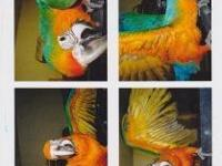 I have one male Red Scarlett Macaw, one female