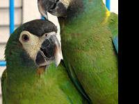 Macaw - Sasha - Medium - Adult - Female - Bird Sasha