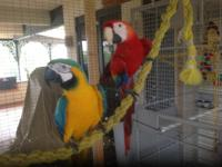 MACAWs for sale (2)  One Scarlet (female) and one Blue