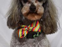 Hi, I am Mack! I am a 5 year old, male, poodle weighing