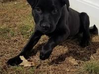 Mack is an 11 week old male lab/terrier mix puppy who