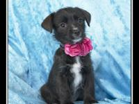 Macy is a female Maltese/Terrier mix puppy