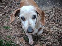 Maddi's story This darling red dapple Dachshund is