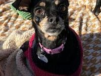 Maddie's story Meet Maddie. She is a Min Pin/Chihuahua