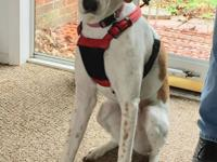 Maddy is a super sweet 1.5 year old, 48 pound female