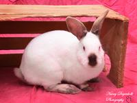 Madison is a Californian mix female rabbit that is