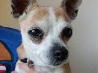 Madison is a darling little Chihuahua who came to us