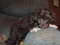 Madison is a chocolate/white female aussiedoodle born