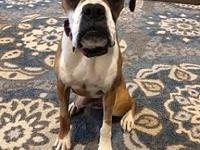 Maggie's story Carolina Boxer Rescue is a volunteer