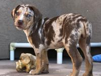 Maggie is a 3 1/2 month old Catahoula Leopard seeking a