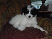Maggie is a CKC registered female mini aussiedoodle.She