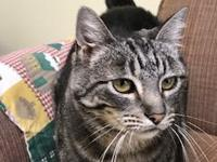 Maggie is a silky soft Tabby. She loves to be on your
