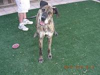 Maggie's story Maggie 6 yr old Female Great Dane Maggie