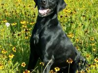 Maggie is an adult Labrador Mix female who weighs about