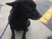 Maggie is a 1 year old female lab mix. She is very