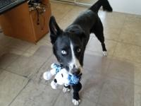 MAGGIE (Smooth Coated Border Collie mix) - AVAILABLE!