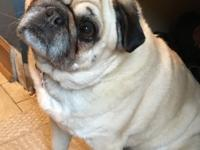 Maggie is a very young and healthy 9-year old pug girl