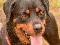 Maggie's story Attention Rottie lovers! Meet Maggie!