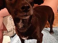My story Maggie is a Chiweenie around 2 years old. She