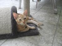 Maggie Mae's story Domestic Shorthair Female, spayed,