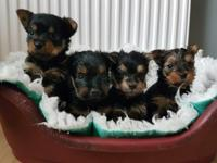Magnificent AKC Yorkshire Terrier Puppies Available