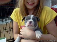 Magnificent American Pit Bull puppies,vet checked and