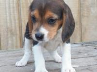 Magnificent Beagle puppies available to go now,Sweet