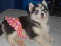 REDUCED!! Skyler is a CKC Black and White Husky w/ blue