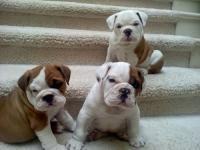 12 weeks English bulldog puppies to rehome to lovely a
