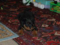Magnificent Rottweiler for adoption. Tenderly raised at