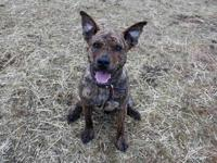 MAGNUS's story Magnus is listed as a Dutch Shepherd on