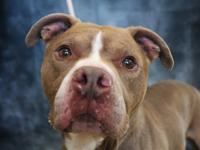 MAGOO (A345288) IS 7 YEAR OLD PIT BULL MIX.  HIS