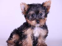 Name: Mailo Age: 11 Weeks Breed: Yorkshire Terrier