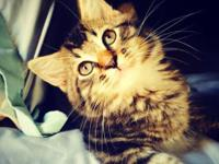 I have gorgeous half maincoon and half Ragdoll kittens