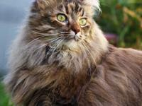 Maine Coon - 10864_vega - Large - Adult - Female - Cat
