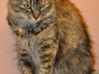 Maine Coon - A585240 - Small - Adult - Female - Cat