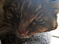 Maine Coon - Abigail - Adopt Me For Free! - Medium -