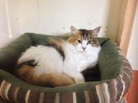 Chanel is a stunning calico maine coon who will be