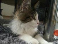 Scotty- 11 week old Male Maine coon kitten Indoor,