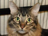 Maine Coon Abbey is a soft and sweet brown tabby Maine