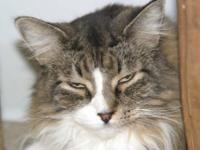 Maine Coon - Annie - Medium - Senior - Female - Cat I