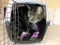 Maine Coon - Apache - Extra Large - Senior - Male -