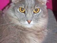 Maine Coon - Azure - Large - Young - Female - Cat Sweet
